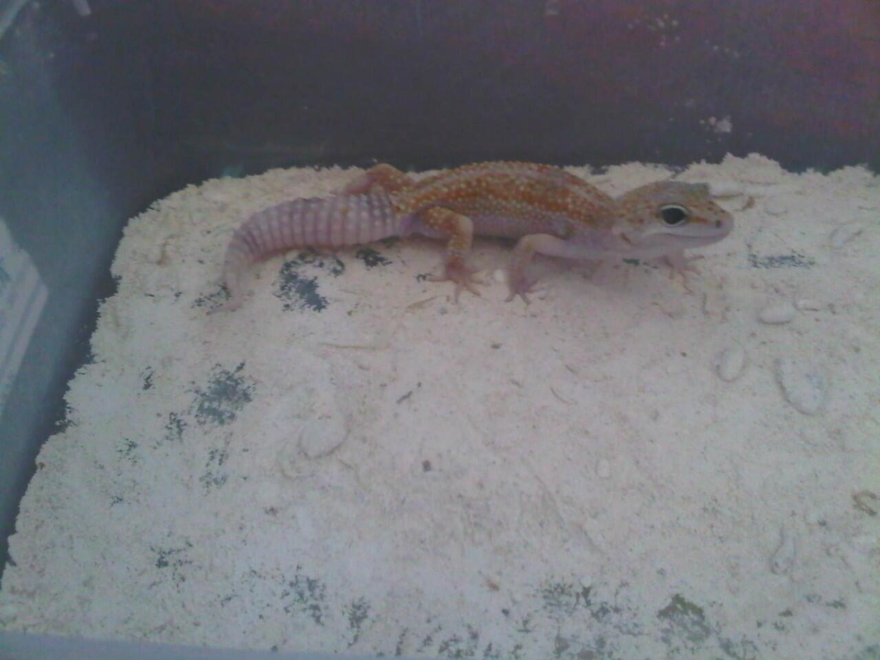 Leopard Gecko Jantan Magelang