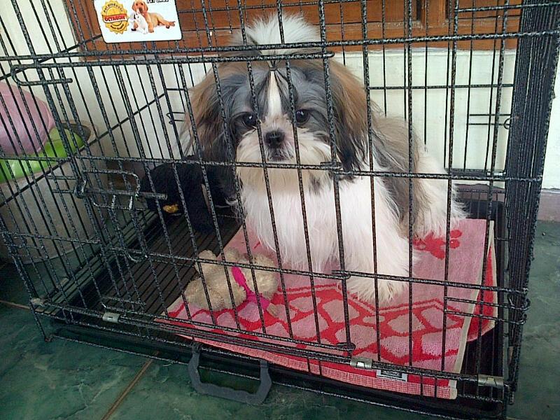 Puppy Shih Tzu Jantan (5 Bulan)