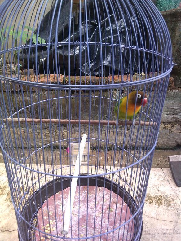 lovebird dakocan jenkel