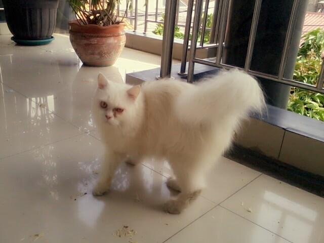 Kucing Persia Putih White Solid BEKASI gemuk sehat lincah
