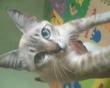 Kitten Persia White solid murah.....!!!