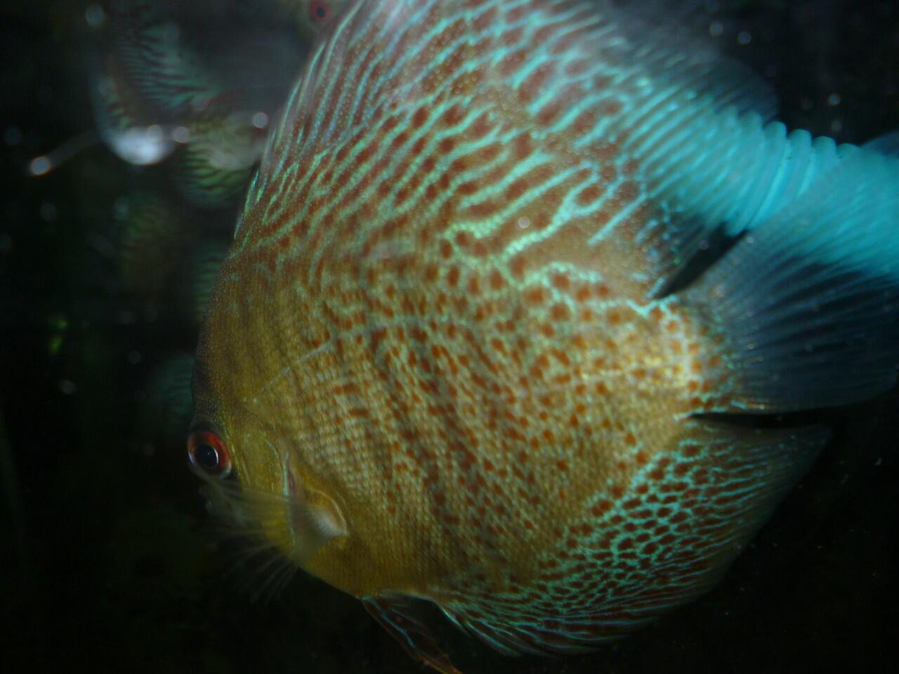 Ikan discus LSS, jungle, pigeon snake, dll cekidot