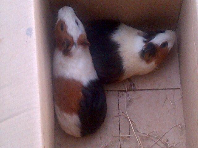 Guinea Pig / Marmut Lokal dan Silkie COD Jogja