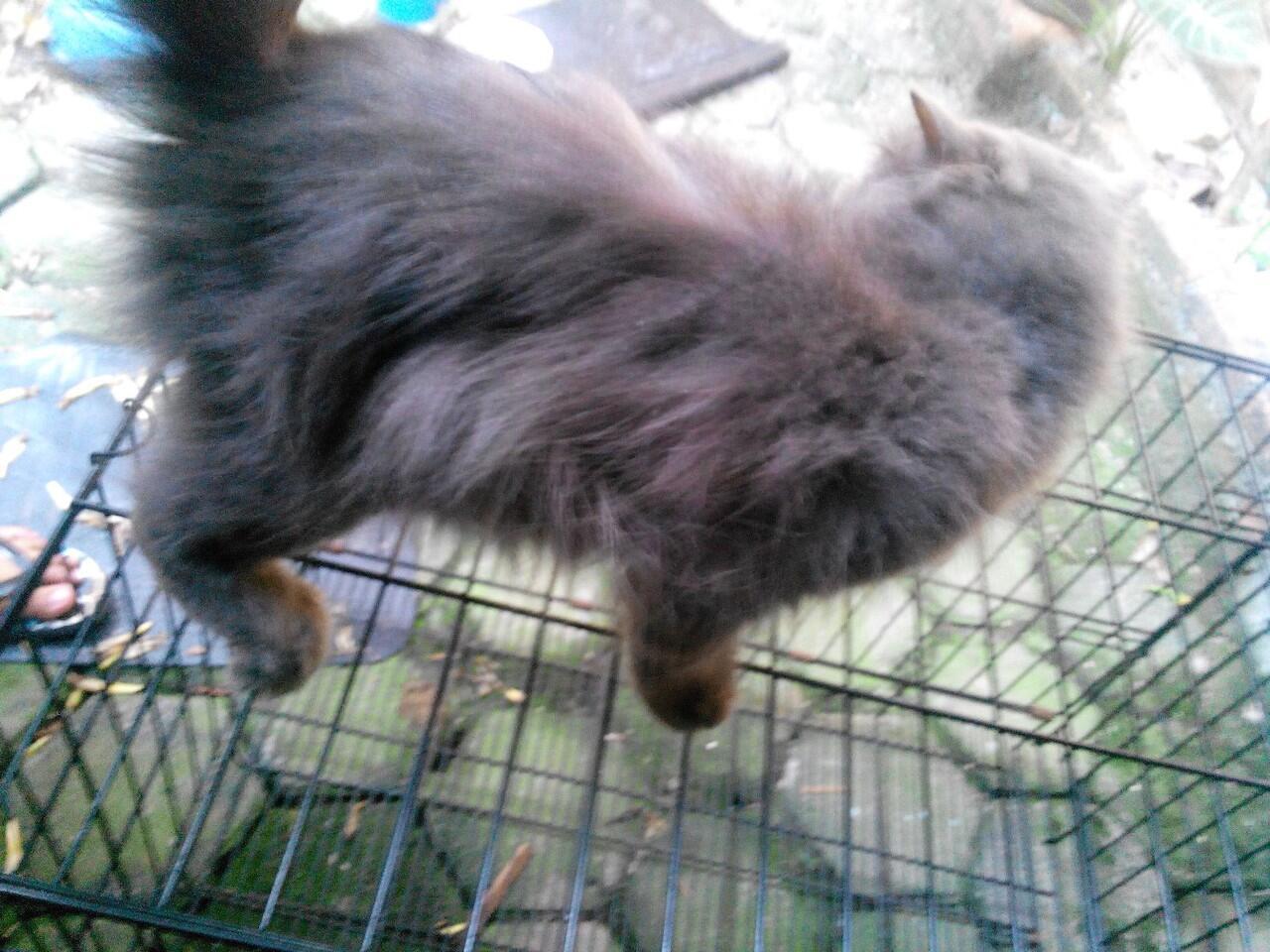 Jual Kucing Persia Betina Kesayangan Murah Terawat