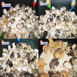 Jual Hamster Grosir Eceran Partai Murah 4500 Tangerang Jakarta