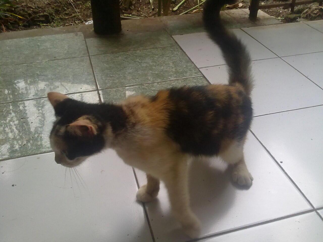 SemiHibah kucing anggora & persian mix himalayan