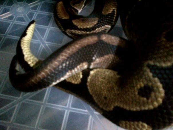 """JUAL ball python Sepasang """"proven"""""""