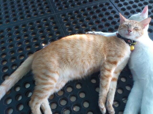 (WTS) Kucing Blasteran (Campuran) Persia - Jawa.