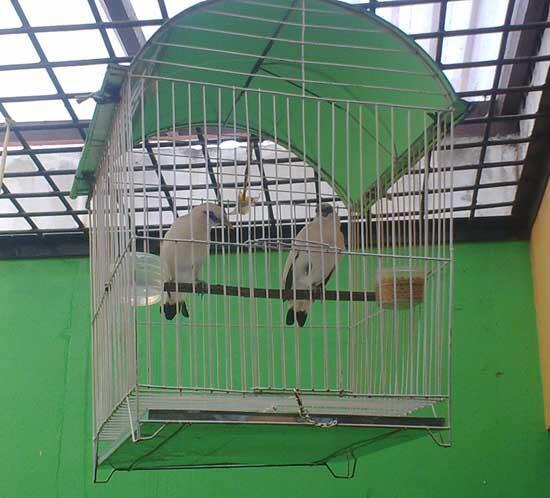 sepasang burung jalak bali umur 5 bulan