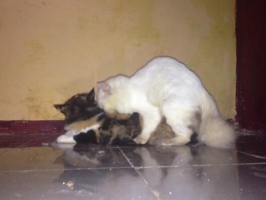 Jasa pacak kucing persia peaknose extreme pedigree bandung