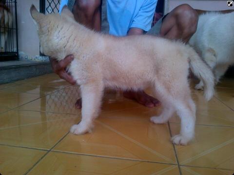 Husky puppies cinamon cucu impor good quality harga Murah