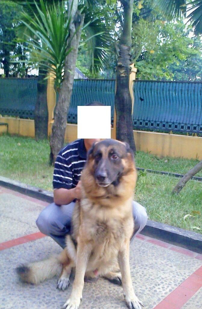 Owned : Herder German Shepherd Jantan, menerima kimpoi/pacak