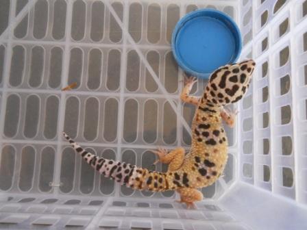 Gecko Tangerine Male Adult Bekasi
