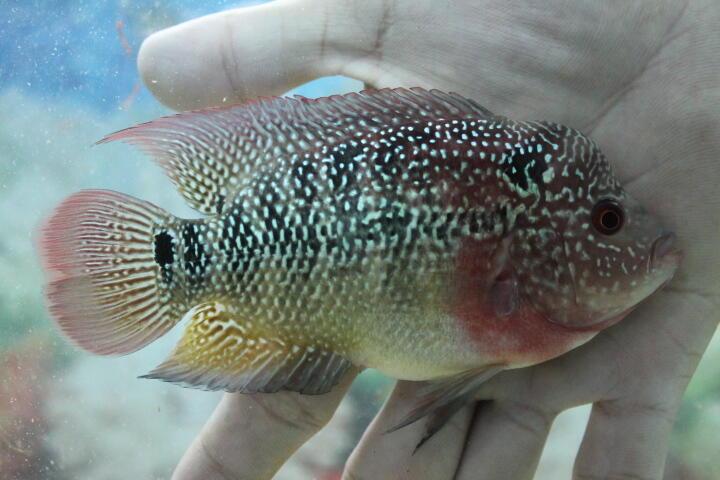 ikan louhan acdc thai uk 9-10cm