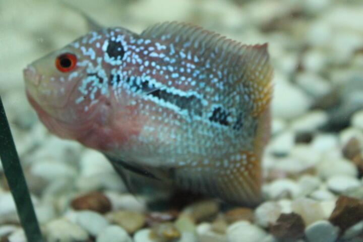 ikan louhan kamfa/kkf thai asli uk 6-7cm
