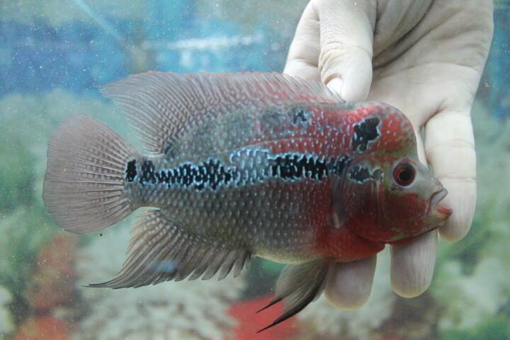 ikan louahn srd/super red dragon uk 10-11cm