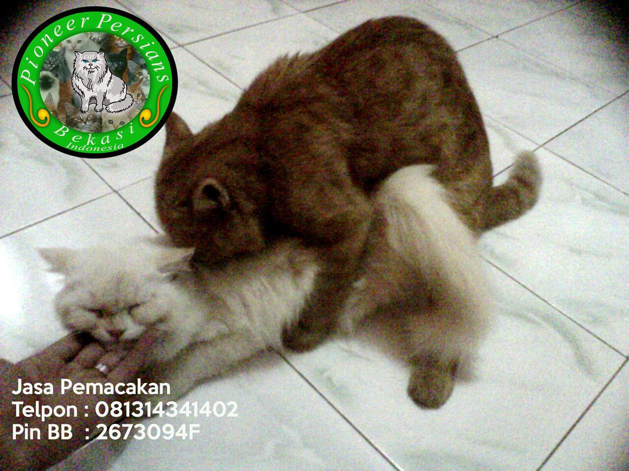 Jasa Pemacakan Kucing Persia Exotic Extreme