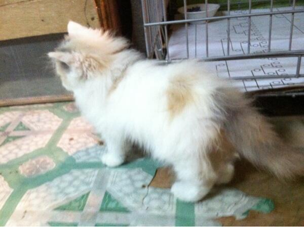 Kucing persia kitten calico bandung