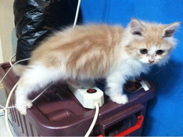 Kucing persia kitten longhair bandung murmer