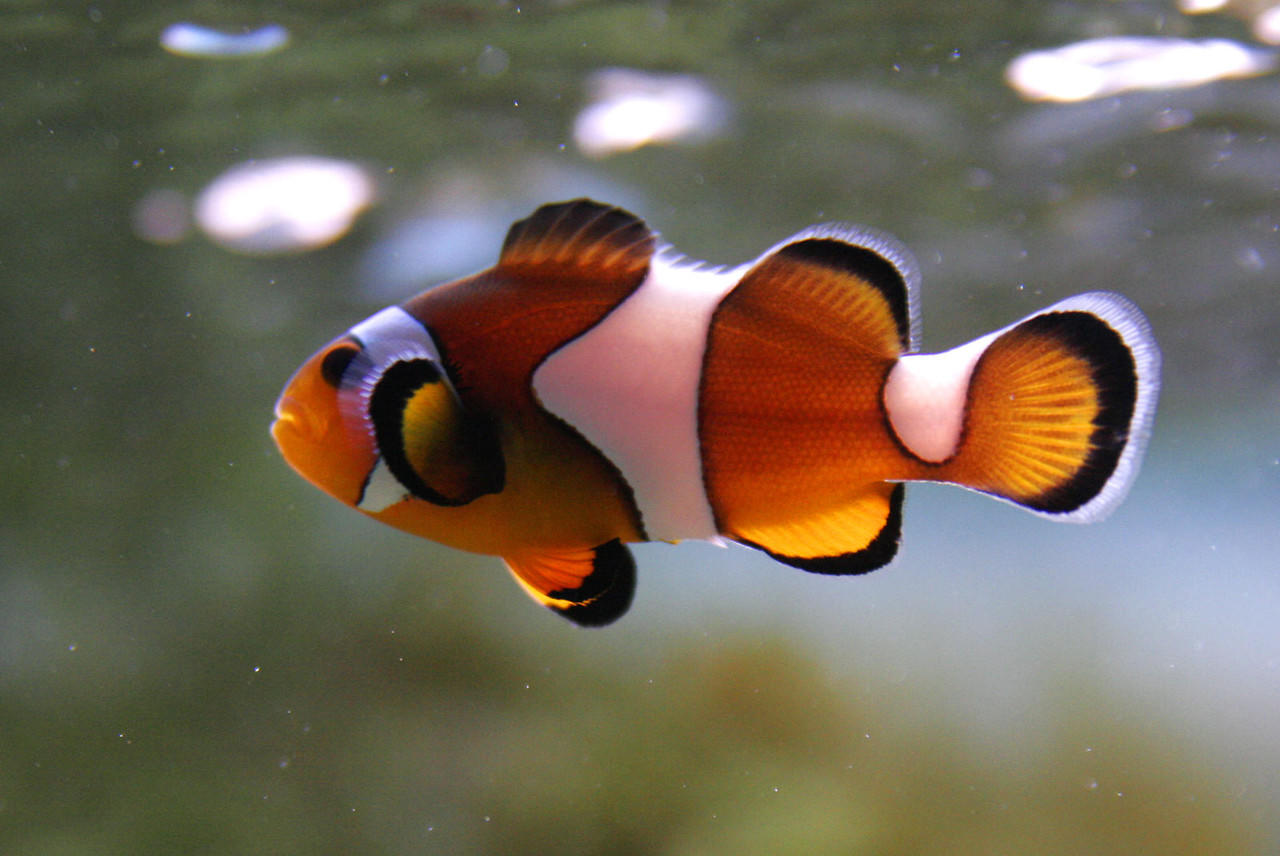 Ikan Nemo clownfish atau ikan badut
