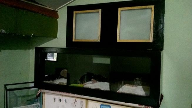 WTS L Gecko baby-baby-baby dan Kandang Kayu