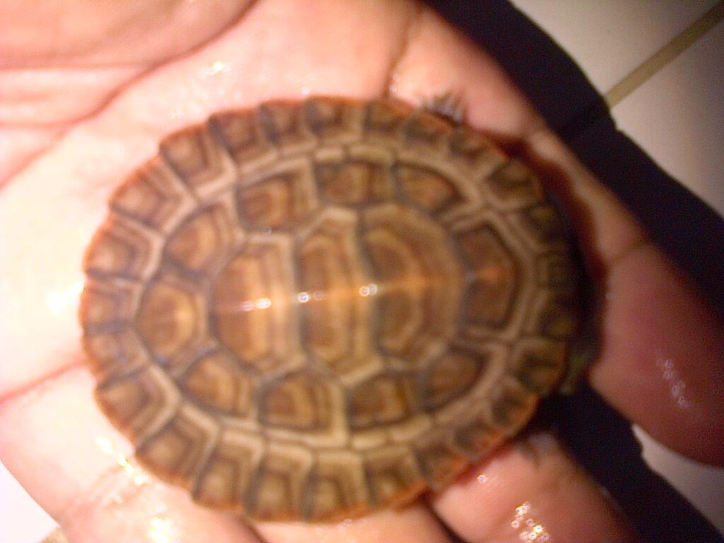 kura / turtle damer 7cm