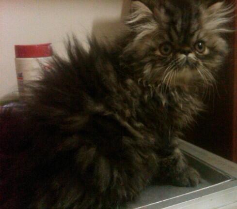 Kucing Persia Anakan