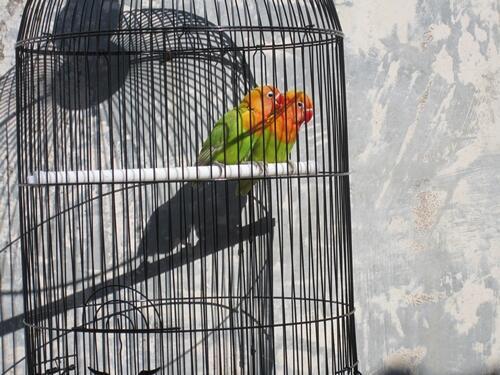 Sepasang Lovebird Siap Produksi