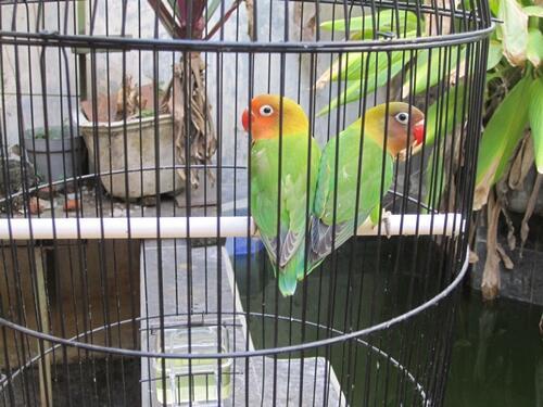 Sepasang Lovebird Siap Produksi - 2