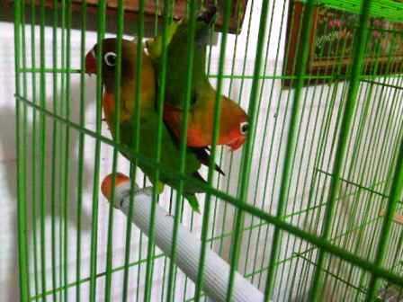 LOVE BIRD ANAKAN IJO STANDARD