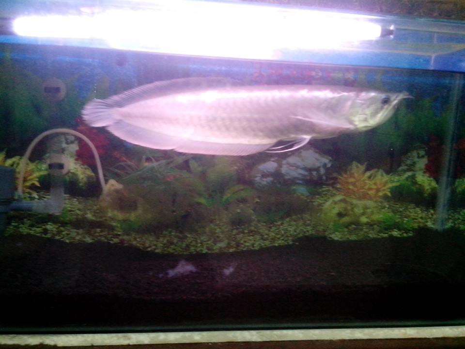 Jual Arowana Silver+Aquarium BU!!