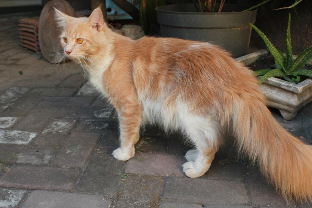 Available, Maine Coon jantan PROVEN dari Bilcho Cattery