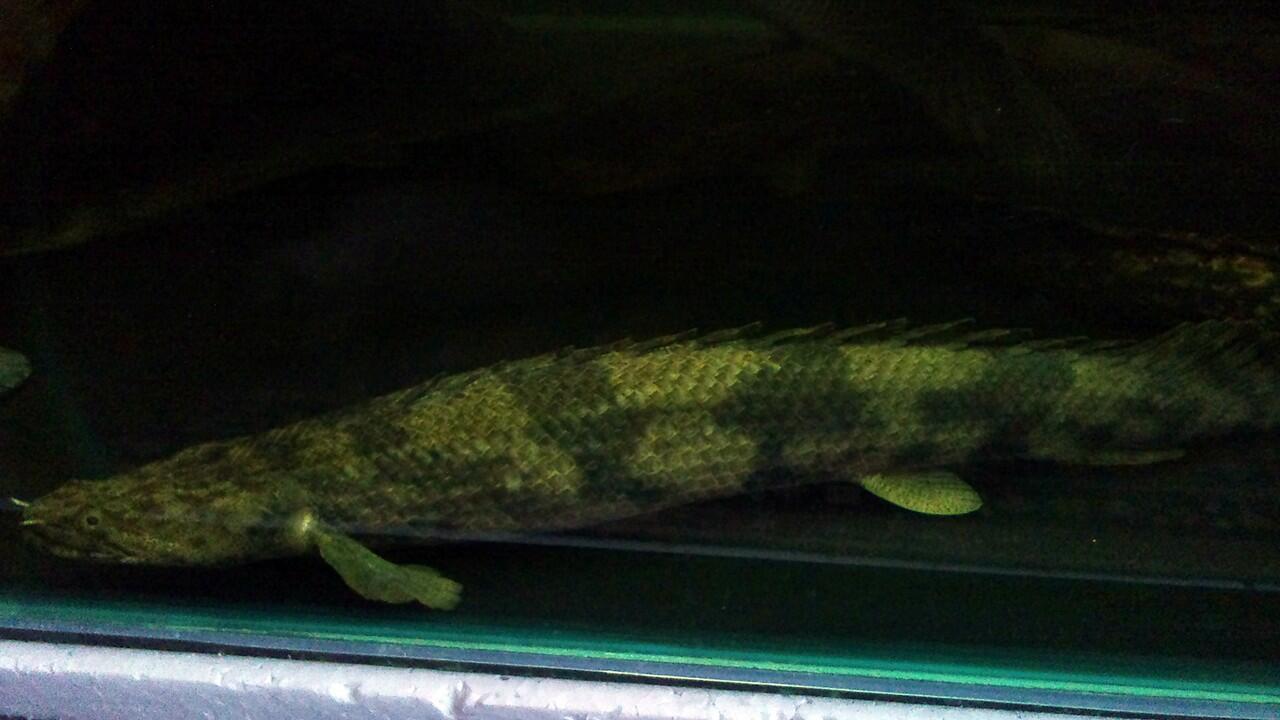 Ikan Predator / Hias / Air Tawar / Bandung