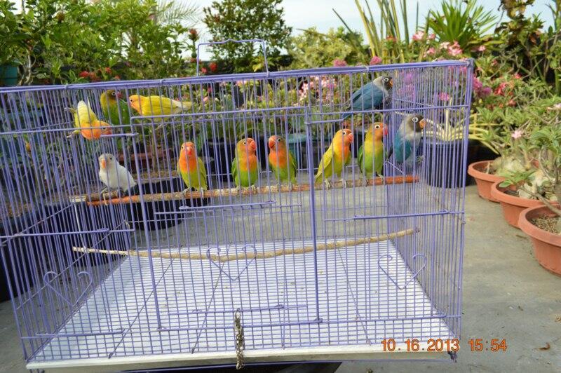 Love Bird Paketan Murah Meriah.. umur 4bln..