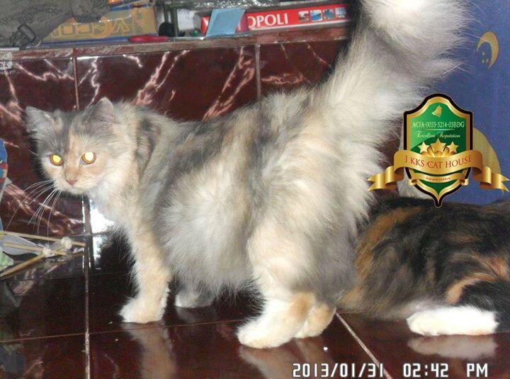 Kitten Persia Betina Cimahi Bandung Murah
