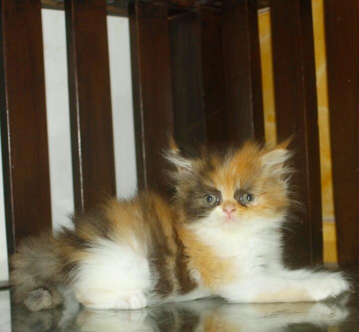 jual kucing persia ( kitten betina calico )