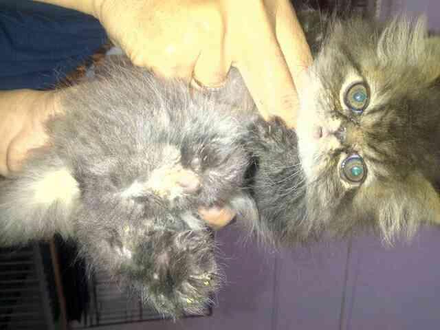 Jual Anak Kucing Persian Black Taby
