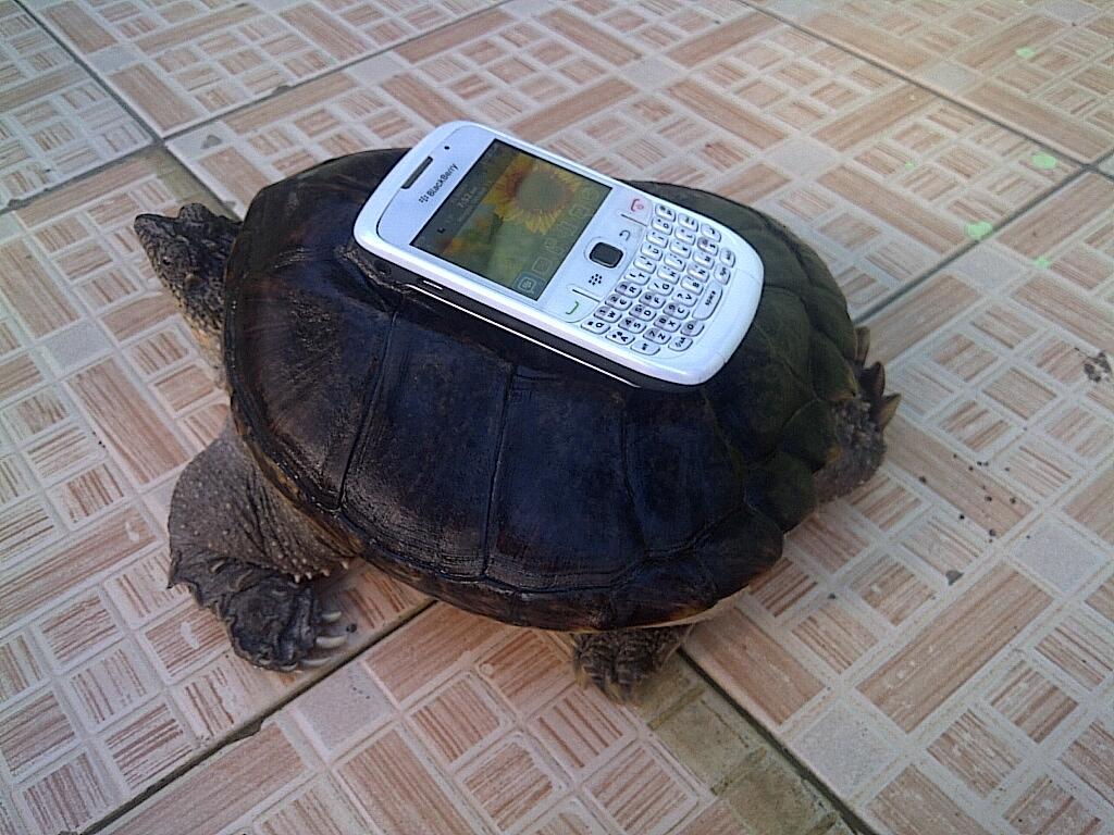 Common Snapping Turtle (CST) 20CM sudah monster murmer yuk liat dulu