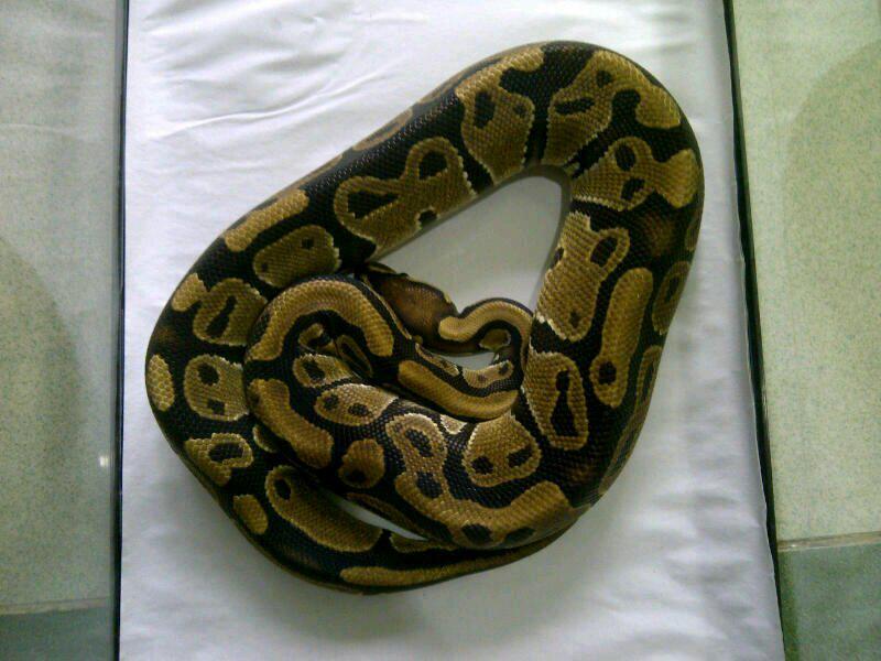 cornsnake male aneka morph ,kingsnake, milksnake dan ball python male normal