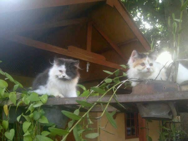 Ready Adopt Kitten-Kitten Persia Medium dan flattnose