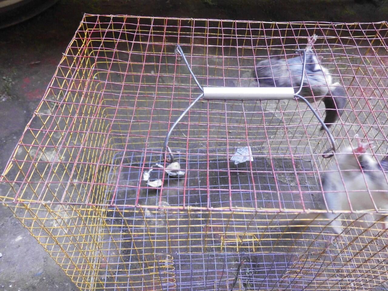 Tupai Terbang Jawa A.K.A Javanese Flying Squirrel