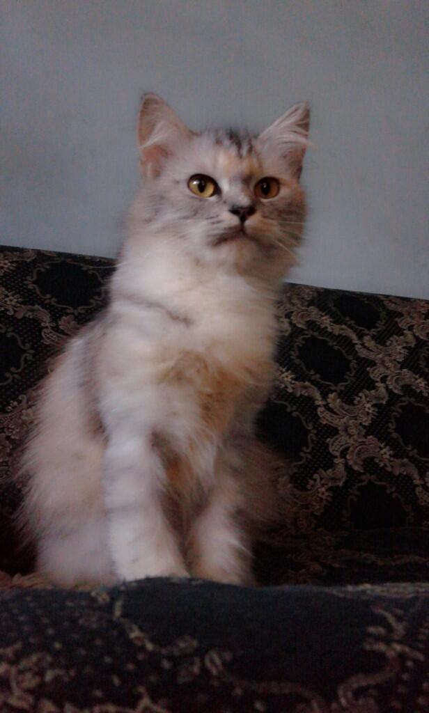 dijual kucing persia medium kitten, betina