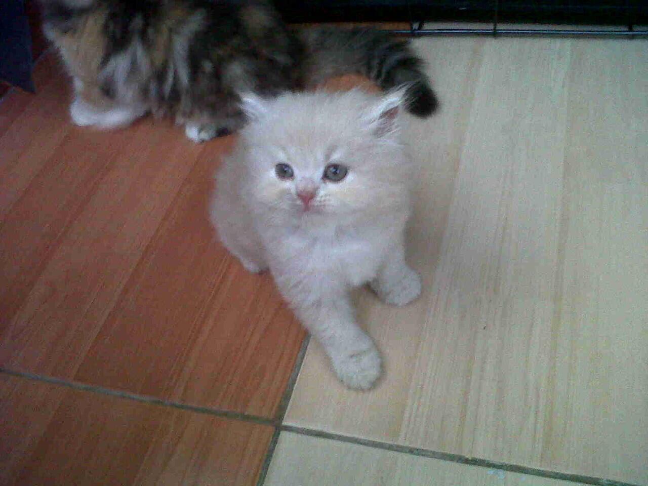 kucing persia kitten peliharaan rumah