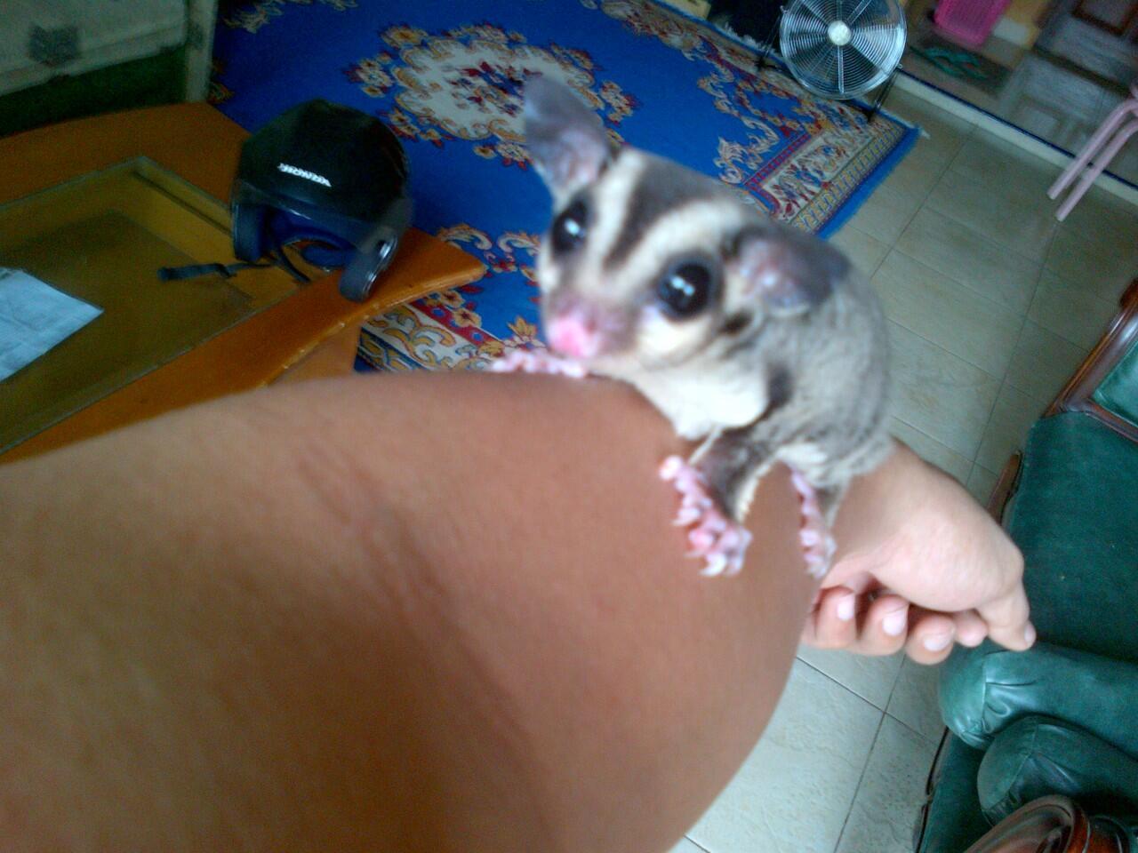 Sugar Glider Joey CB/Anakan SG Murah