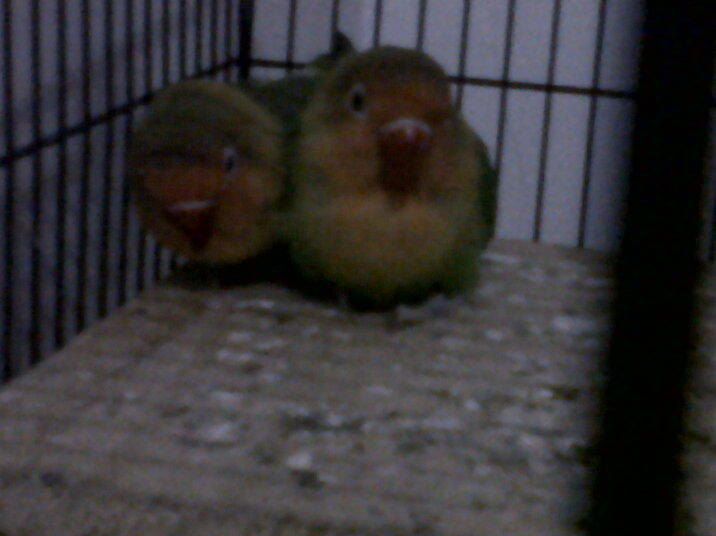 FOR SALE INDUKAN LOVEBIRD IJO MUMERRRRRR.....