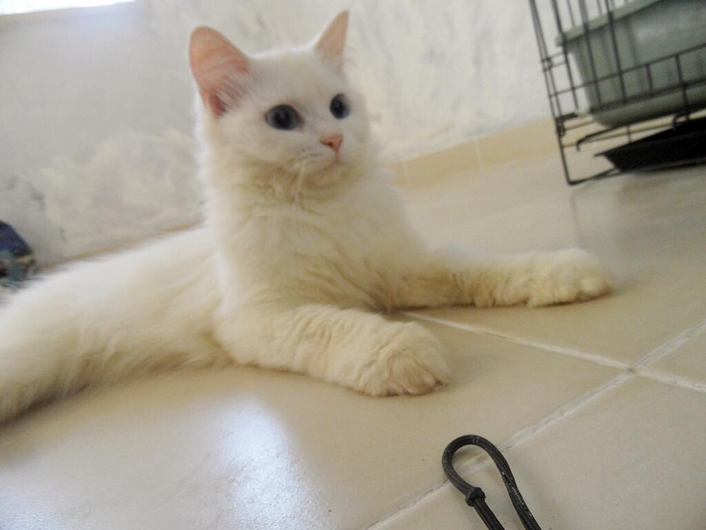 Kucing Persia Jantan Putih (Semarang)