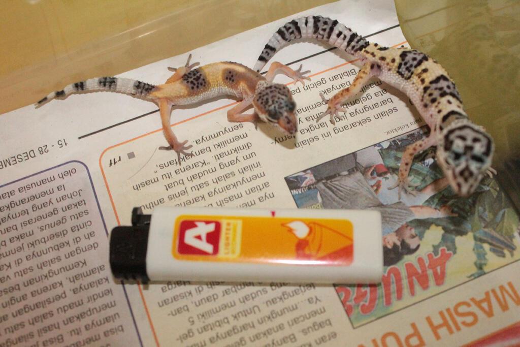 leopard gecko baby 1,5 dan3 bulan @75k