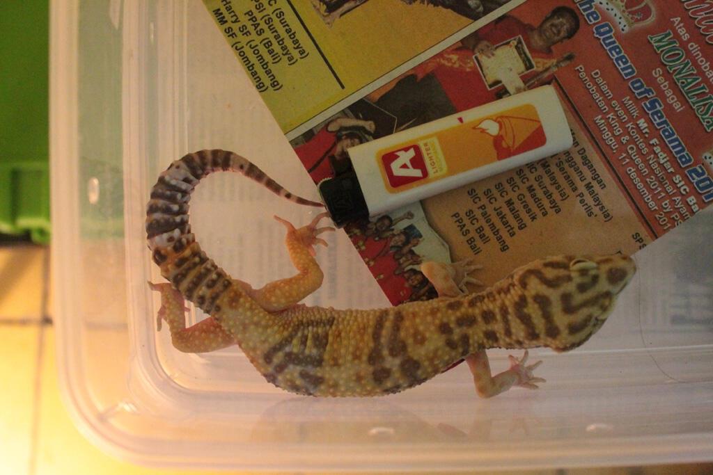 leopard gecko harga pensiun