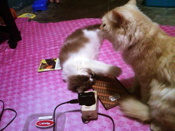 Kucing Persia Medium Long Hair Red Ragdoll Cakep & Cantik | Kandang | Jogja