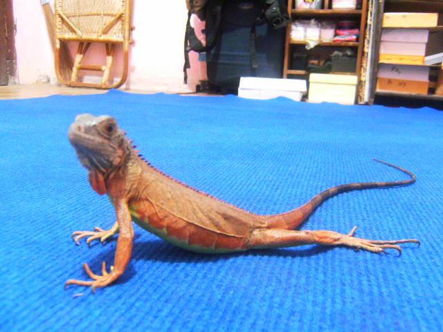 Baby Red Iguana -+40Cm Up Jogja Murah @700K 081802627785 / 31690DC4